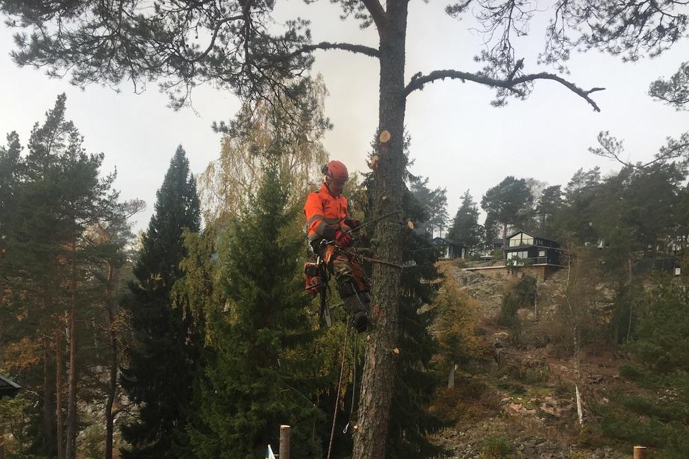 trädfällning klättrar i träd