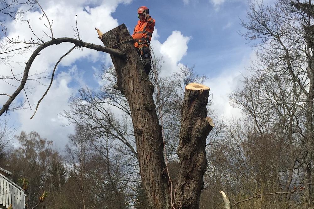 trädfällning klätterfällning